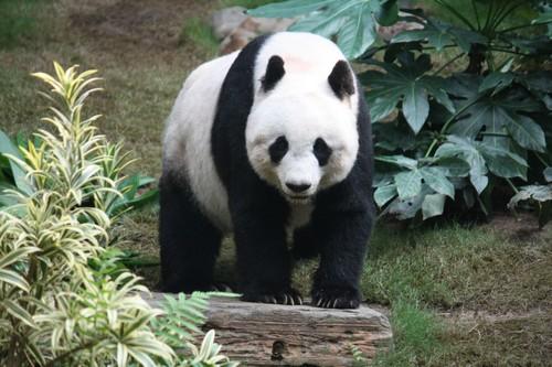Grosser Panda Dangerous Animals