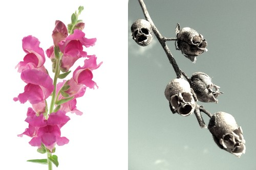 Snapdragon and its Skull