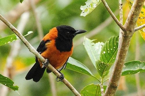Birds With Strange Defences Hooded pitohui