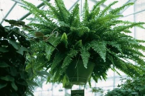 Boston Fern Indoor plants