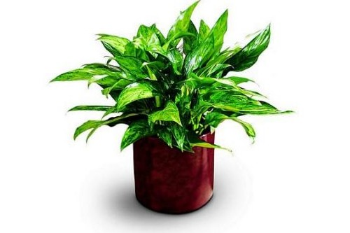 Chinese Evergreen Air Purifying Indoor Plants