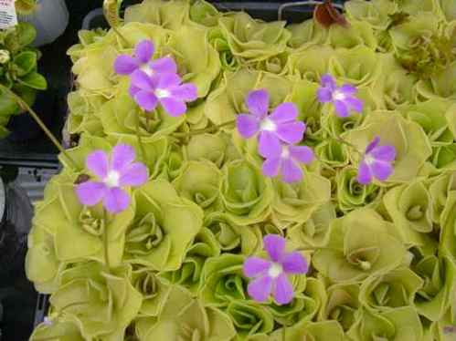 Pinguicula Carnivorous Plants