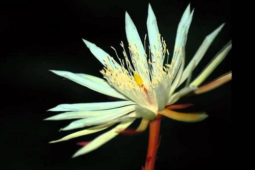 Kadupul flower - priceless flowers