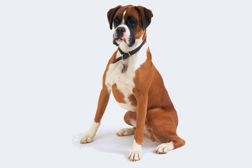 Boxer Dog Breeds to Join Your Family