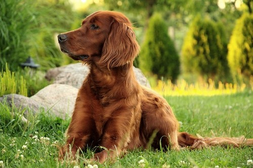 Irish Setter Dog Breeds to Join Your Family