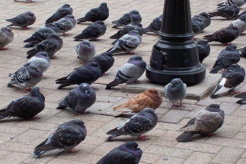 Facts About Pigeon