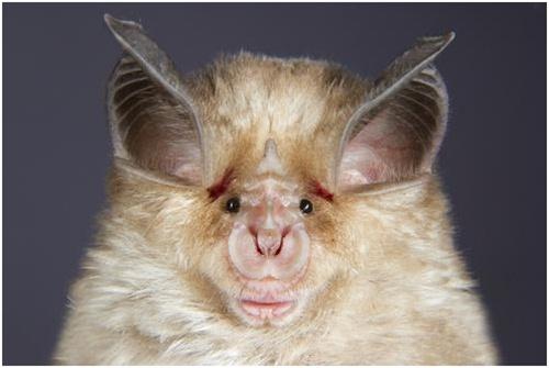 ugliest animals Horseshoe Bat