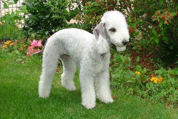 Bedlington Terrier Adorable English Dogs