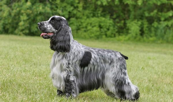Adorable English Dogs Cocker Spaniel Dog Breed