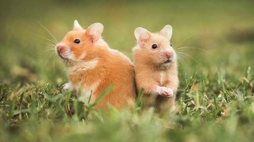 Hamsters two Small Animals that are Great Pets