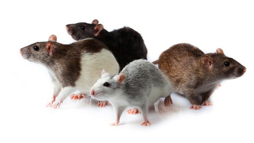 Small Animals that are Great Pets Rates
