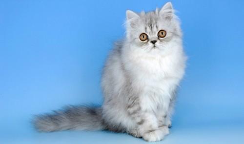 Cute Persian Cats
