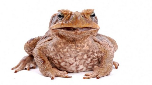 Wart-like bumps on toads