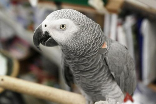 Colombian parrot arrested by police