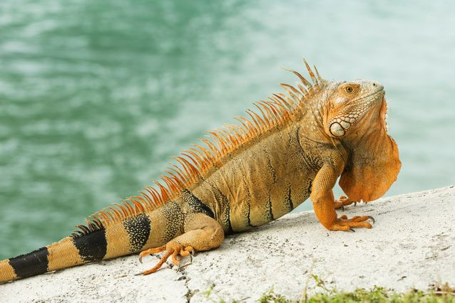 A large orange iguana