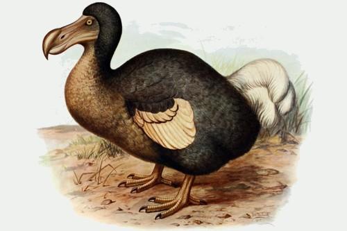 Dodo - the most famous extinct animal