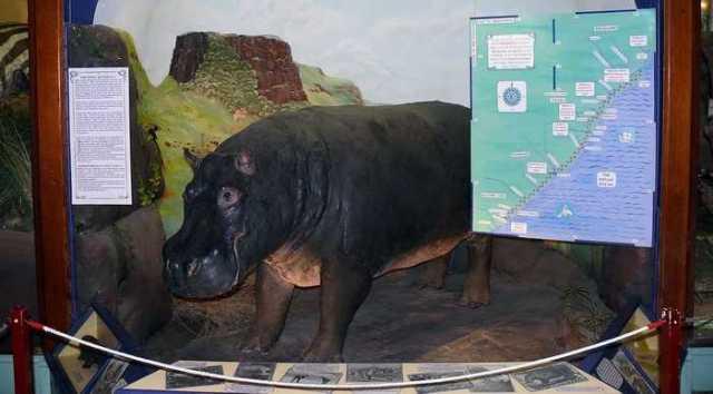 Huberta (hippopotamus)