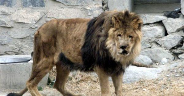 Marjan (lion)