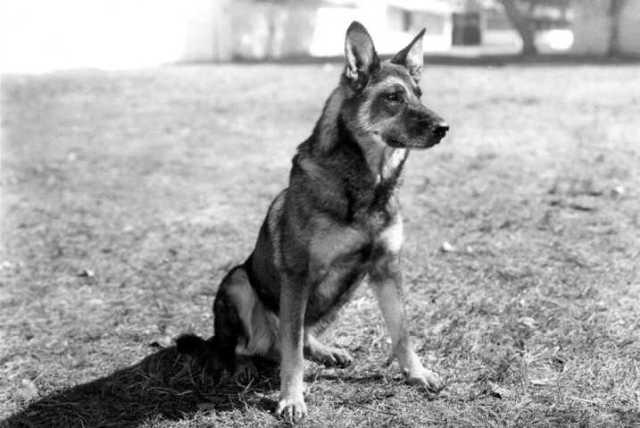 Rin Tin Tin Dog
