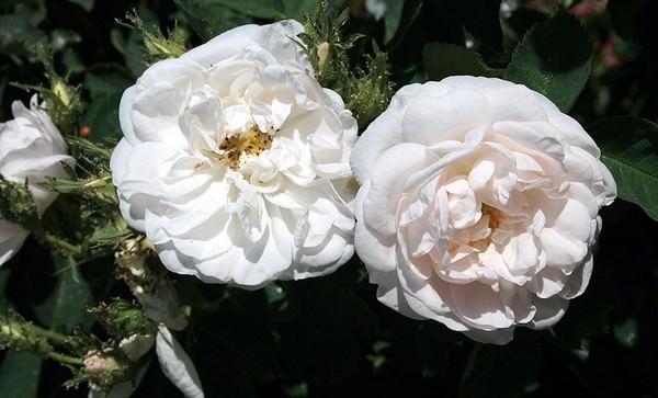 The white rose of York - Alba