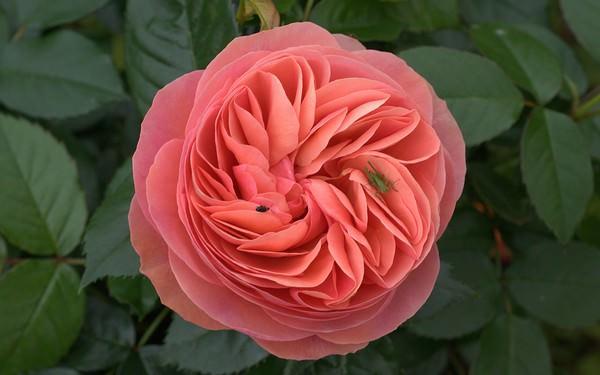 Gallic Rose