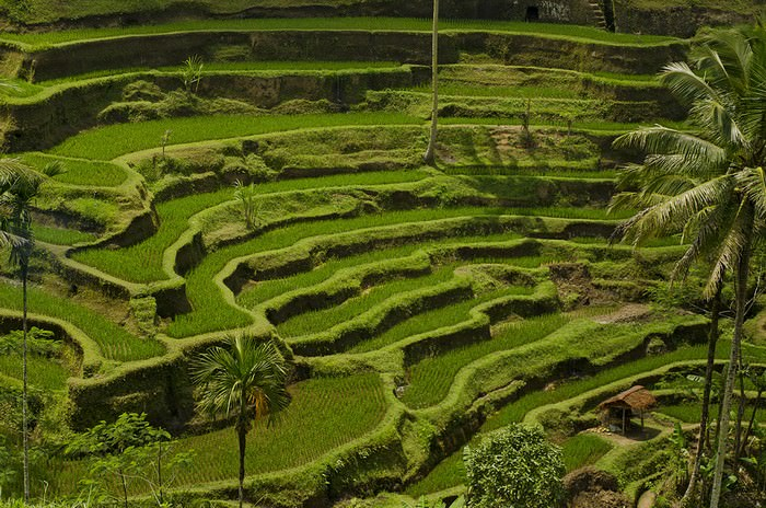 Jatiluwih or Tegallalang Rice Terraces
