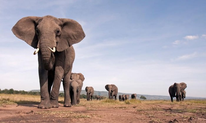 African elephants - Animals with longest lifespan | Top 10 longest living animals