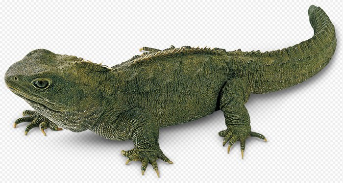 Tuatara Lizards - Animals with longest lifespan | Top 10 longest living animals