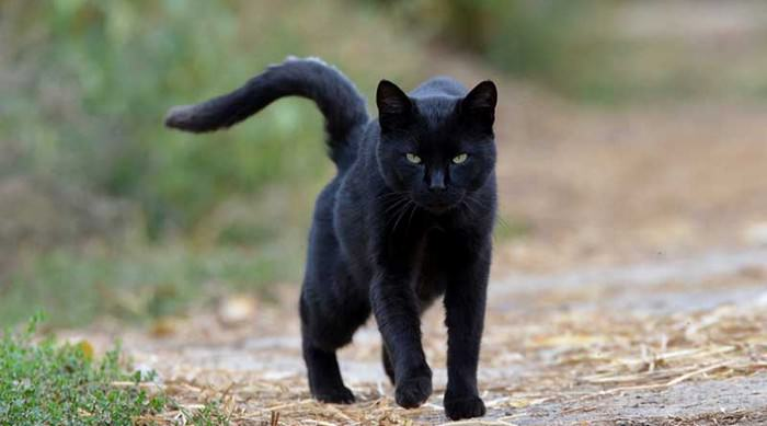 Black Cat Superstition
