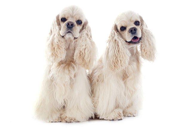 Cocker Spaniel Best Family Dogs