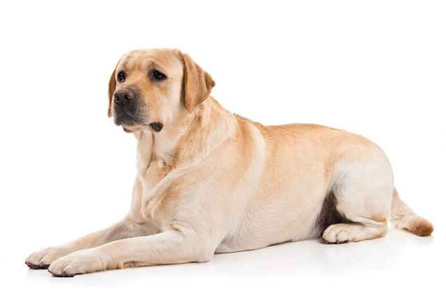 Labrador Retriever-Best Family Dogs