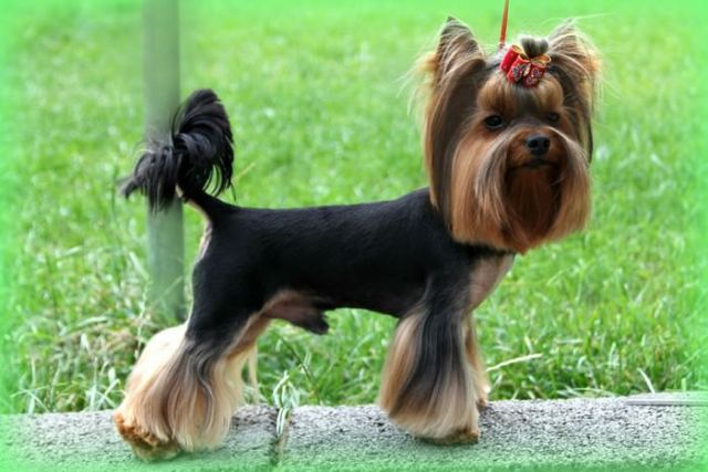 Yorkshire Terrier Smallest Dog Breeds