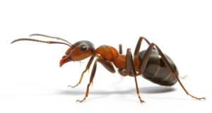 Ant-Most Intelligent Animals
