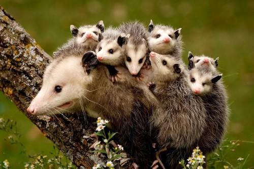 Opossum mama and babies