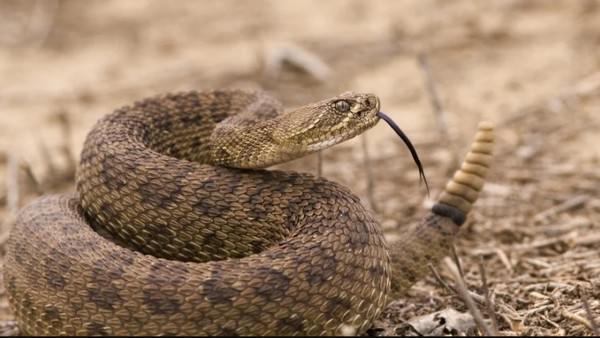 Rattlesnake deadliest snakes
