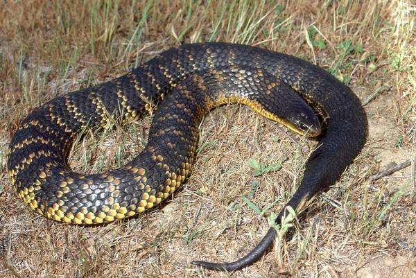 Tiger snake deadliest snakes