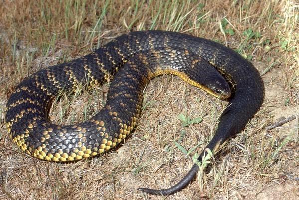 Tiger snake deadliest snakes