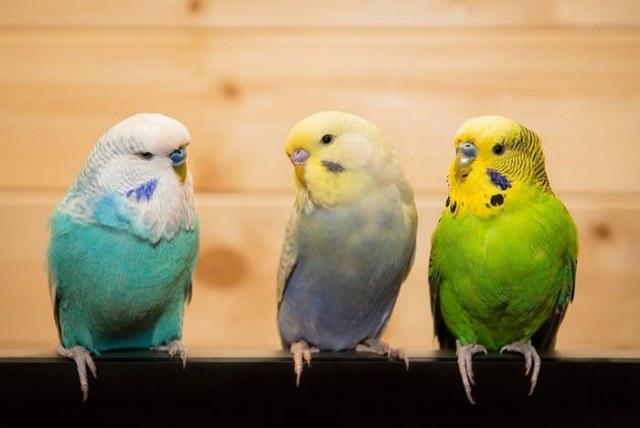 Pet Birds for kids