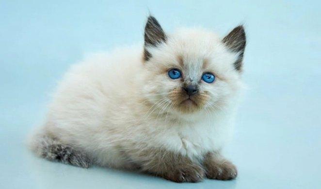 Balinese Cat Hypoallergenic Cat Breeds