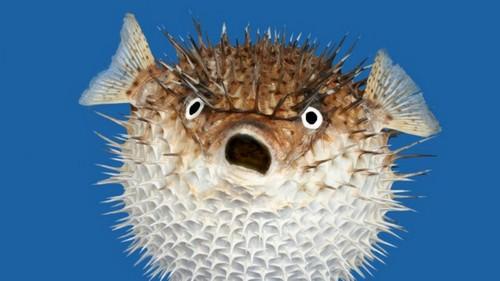 Deadliest Creatures On Earth Pufferfish