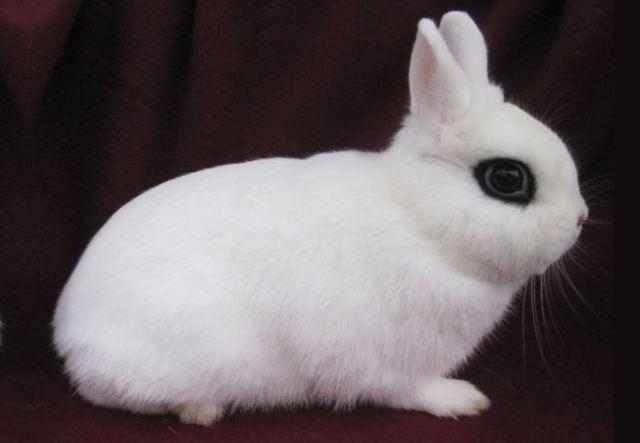 Dwarf Hotot Smallest Rabbit Breeds