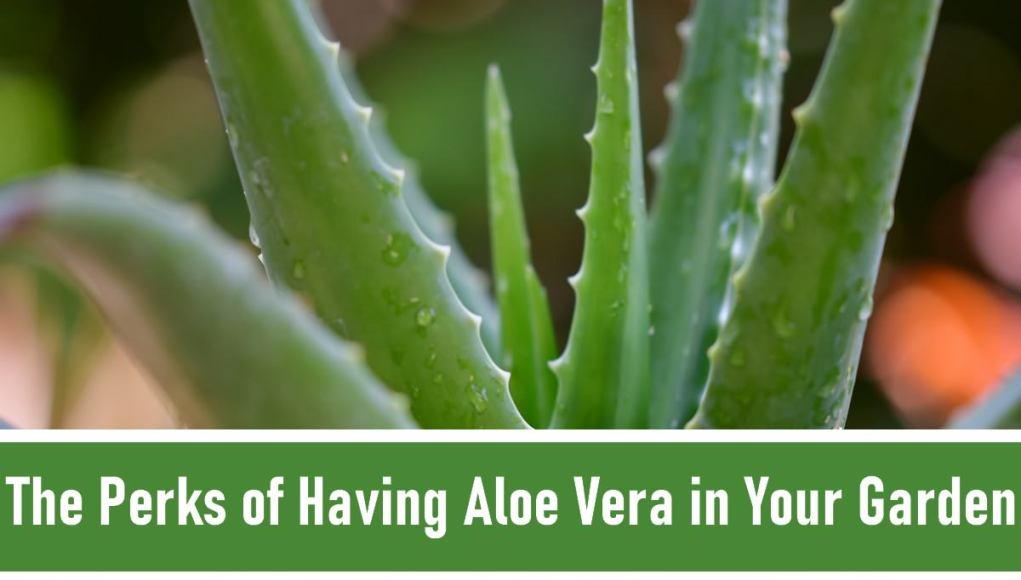 Perks of Having Aloe Vera In Your Garden