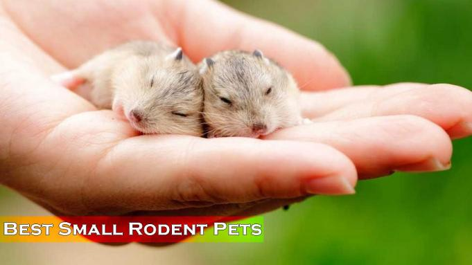 Best small rodent pets