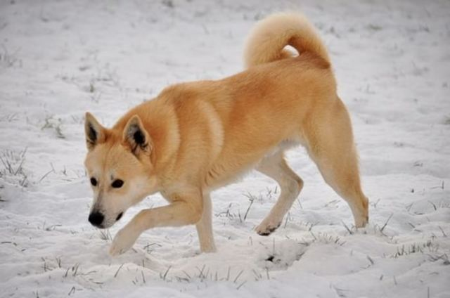Canaan unique and rare dog breeds