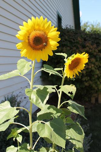 False Sunflowers - Full Shot