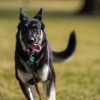 Biden dog Major German shepherd
