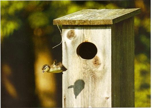 Wood Duck Society
