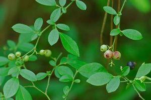 Vaccinium elliottii Blueberry Elliotts from Woodlanders