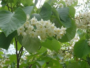 Styrax obassia Fragrant Snowbell from Woodlanders Inc