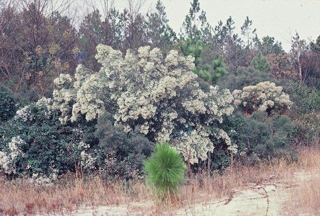 Baccharis halimifolia Groundsel Bush from Woodlanders Inc